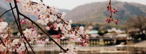 Japanese flower blooms